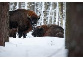 欧洲北美野牛在冬天时间北美野牛博纳斯期间_16205850