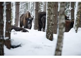 欧洲北美野牛在冬天时间北美野牛博纳斯期间_16205871