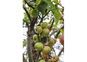 垂悬在树枝的秋天果子在庭院里_11892165