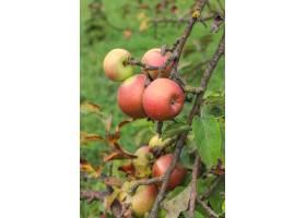 垂悬在树枝的秋天果子在庭院里_11892166