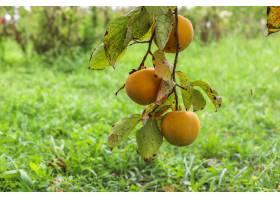 垂悬在树枝的秋天果子在庭院里_11892169