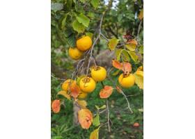 垂悬在树枝的秋天果子在庭院里_12231479