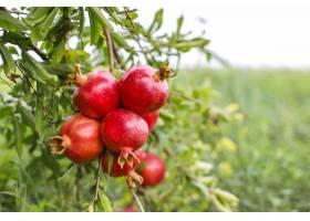 垂悬在树枝的秋天果子在庭院里_12232183