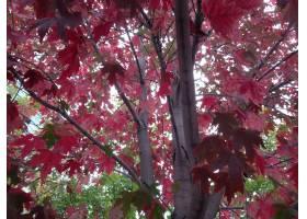 低角度特写镜头射击了在槭树的红色叶子_10584312