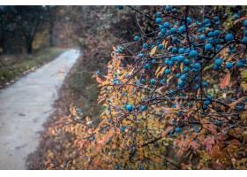 蓝莓灌木特写镜头在雨期间_10758895