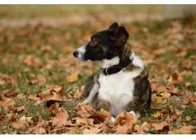 特写镜头坐在干燥叶子中的一条黑白狗_9971229