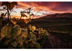 特写镜头射击了与美好的绿色风景的绿色葡萄_16538768