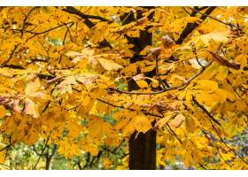 特写镜头射击了在树的黄色秋叶_10291944