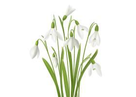 现实snowdrop花设置与束新鲜的花词根和草图_6871671