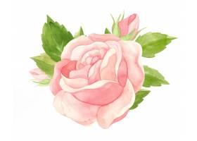 水彩粉红色玫瑰花卉水彩_16079184