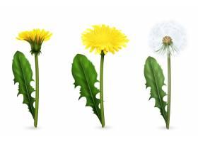 套黄色和白色蒲公英的现实图象花与在开花的_4386005