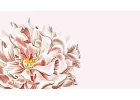 盛开的花卉牡丹壁纸在粉红色的背景中